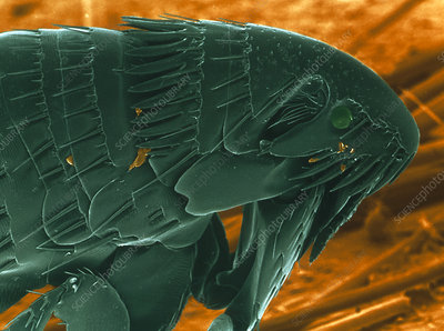 SEM of a cat flea