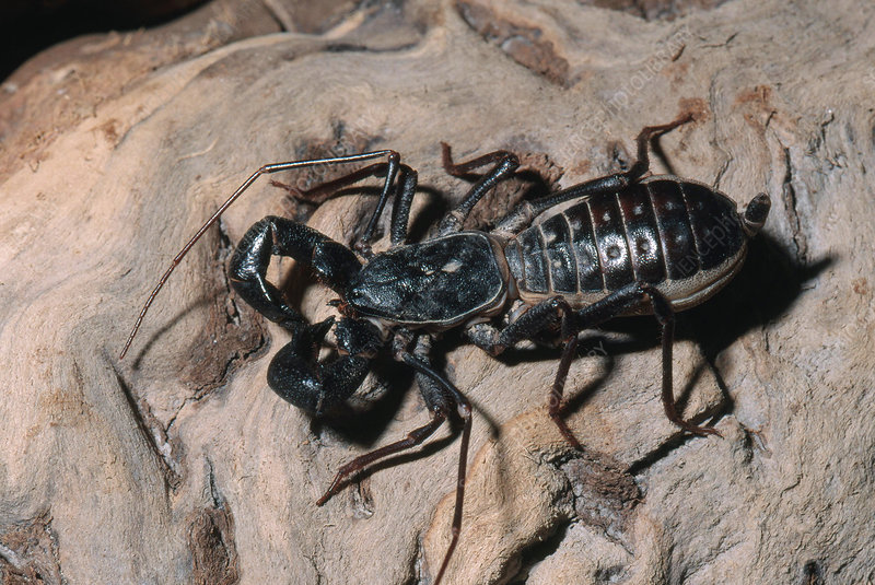 Tailed Whipscorpion