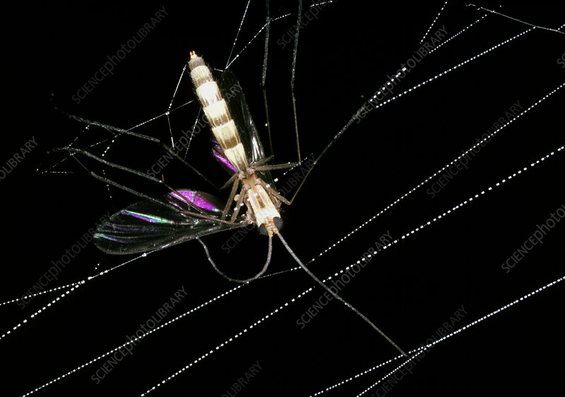 Macrophoto of mosquito caught in spider's web