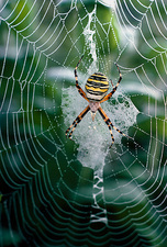 Spider Argiope bruennichi on its web