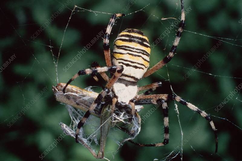 Macrophoto of spider with prey