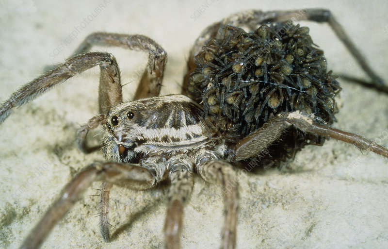 Wolf spider carrying young spiderlings on abdomen