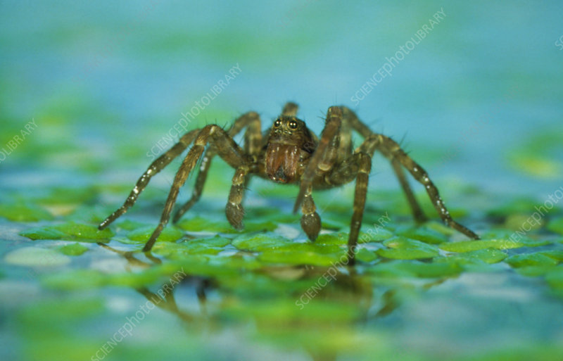 Wolf spider walking on the surface of a pond