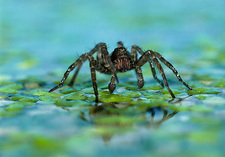 Wolf spider, Pirata, walking on pond plants