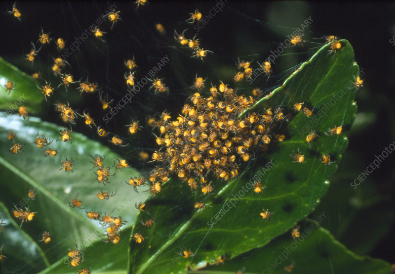 Cluster of spiderlings in warning colours on a web