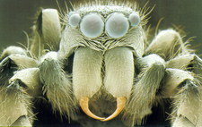 SEM of head of zebra jumping spider, Salticus sp.