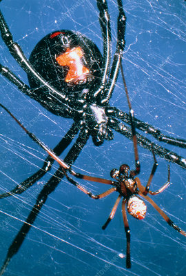 Mating black widow spiders