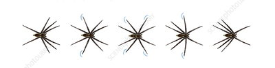 Fishing spider rowing