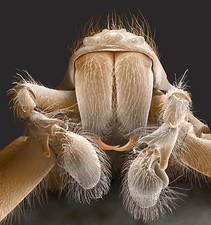 Spider mouthparts, SEM