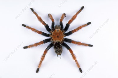 Blood-leg tarantula