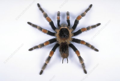 Mexican red-leg tarantula