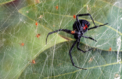 Black Widow Spider with young