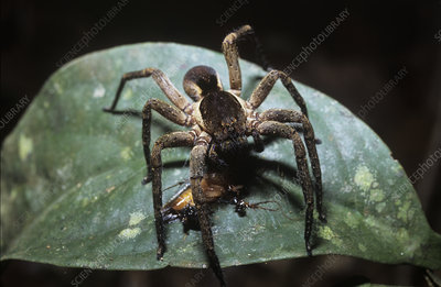Wolf spider eating a cockroach