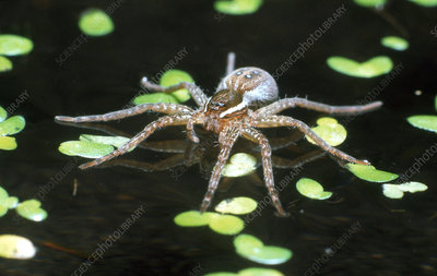 Fishing Spider on surface of water