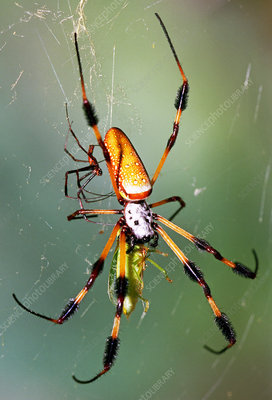 Male and female Silk Spiders with prey
