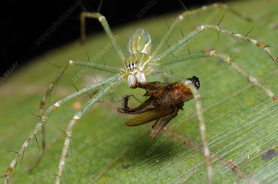 Water Spider (Hygropoda lineata) with prey