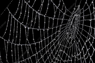 Dew laden spider web