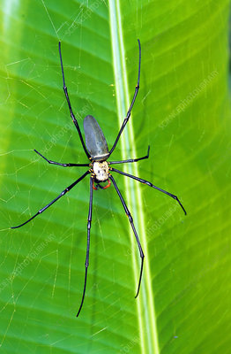 Golden Orb Weaver Spider (Nephila sp.)