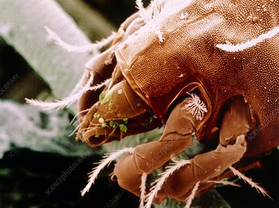Coloured SEM of foreparts of dust mite.