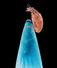 Coloured SEM of dust mite on the point of a needle