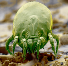 Coloured SEM of a dust mite, Dermatophagoides