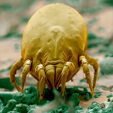 Sem of a dust mite