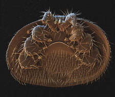 Honey bee mite SEM