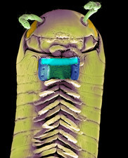 Millipede with microchip, SEM