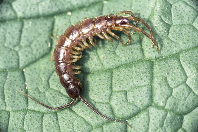Centipede on leaf