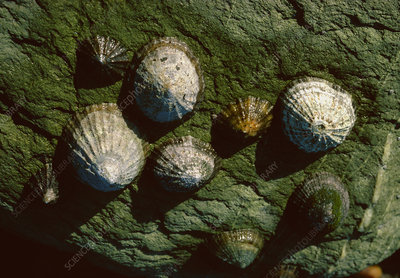 Limpet on the side of rocks, S.W. England