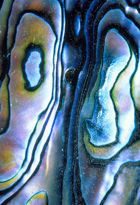 Interior of shell of abalone