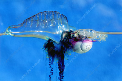 Sea snail attacking Portuguese man-of-war