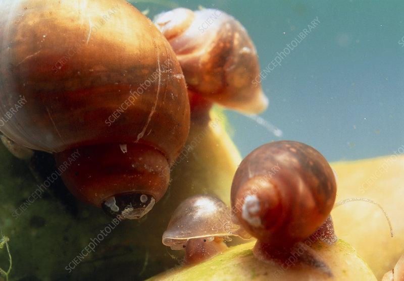 schistosomiasis snail)