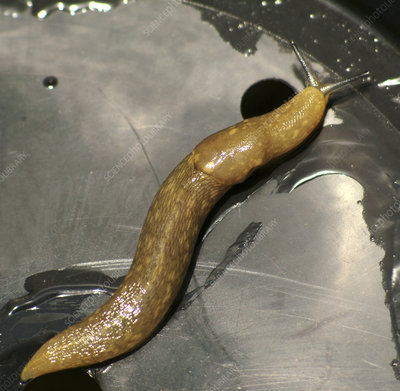 Yellow slug