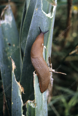 Slug on leek