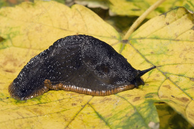 Great black slug