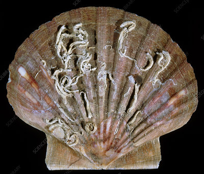 View of a scallop shell covered in worm casts