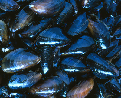 Several mussels (Mytilus galloprovincialis)