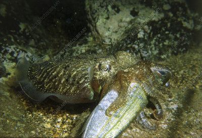 Cuttlefish feeding
