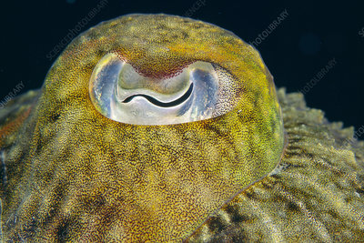 Common cuttlefish's eye