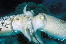 Broadclub cuttlefish mating