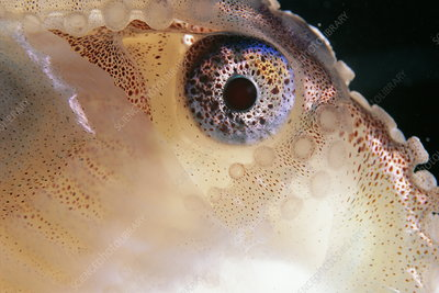 Greater argonaut eye