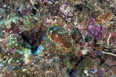 Camouflaged broadclub cuttlefish