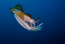 Bigfin reef squid