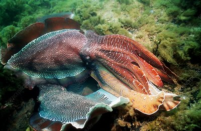 Giant cuttlefish males fighting