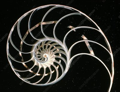 Sectioned shell of cephalopod Nautilus sp.