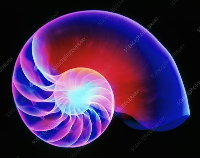 Coloured X-ray of the Nautilus shell