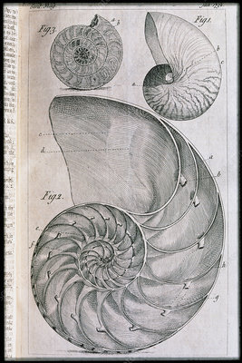 Nautilus shells and ammonite, engraving