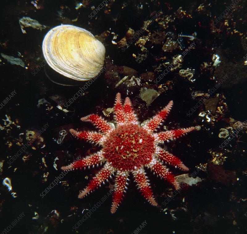 The common sunstar Solaster papposus