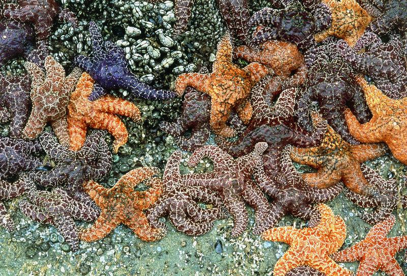 Purple or ochre sea stars (Pisaster ochraceus)